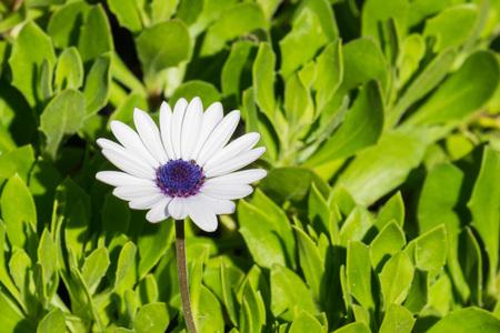 White Osteospermum African Daisy flower, California