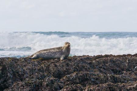 Harbor seal sitting on rocks at low tide, Fitzgerald Marine Reserve, Moss Beach, California