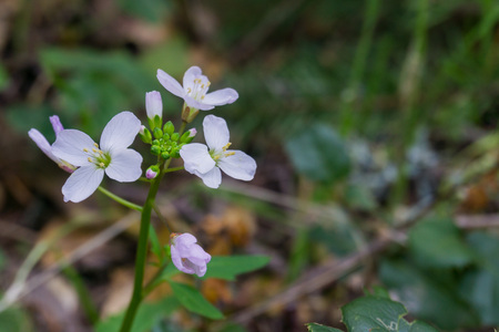 Milkmaid (Cardamine californica) flowers blooming in winter in a forest, California Stock Photo