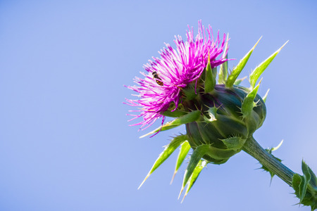 Close up of purple thistle on a blue sky background, California 免版税图像