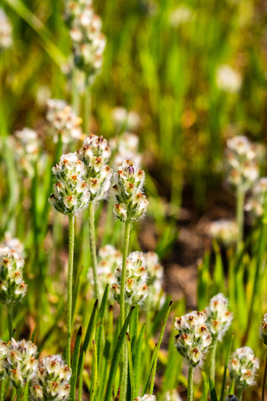 California plantain (Plantago erecta) growing on a meadow in spring, California Stok Fotoğraf