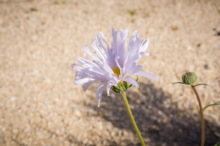 Close up of Mojave aster (Xylorhiza tortifolia) wild flowers blooming in Joshua Tree National Park, California