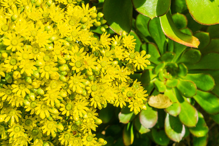 Wet Yellow Flower Cluster on a Aeonium arboreum succulent, California 版權商用圖片