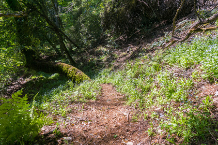 Hiking trail lined up with Forget-me-not (Myosotis sylvatica), San Francisco bay area, California