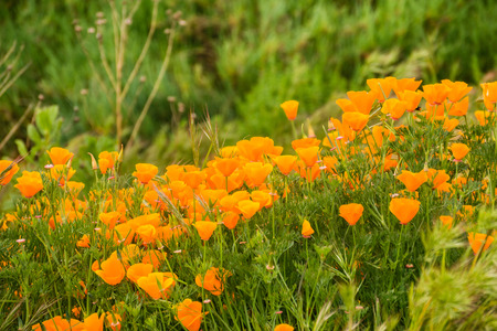 California Poppies (Eschscholzia californica) growing on a meadow, San Jose, south San Francisco bay, California Stockfoto