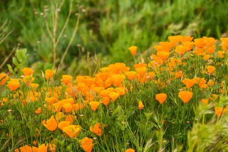 Kalifornischer Mohn (Eschscholzia Californica) wächst auf einer Wiese, San Jose, South San Francisco Bay, California