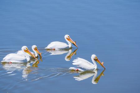American white pelicans, Shoreline Park, Mountain View, California Stock Photo