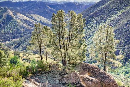 Gray pine trees (Pinus sabiniana) on a sunny spring day, Pinnacles National Park, California
