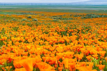 Champs de pavot de Californie (Eschscholzia californica) pendant la période de floraison maximale, Antelope Valley California Poppy Reserve Banque d'images