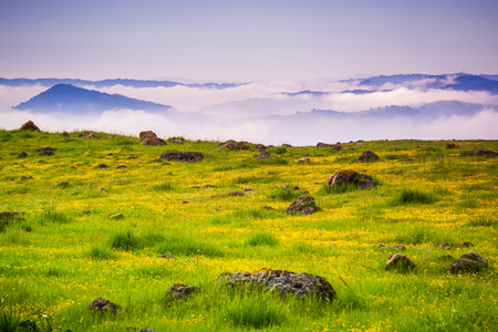 Meadow full of goldfield wildflowers; fog and clouds in the background, south San Francisco bay area, California