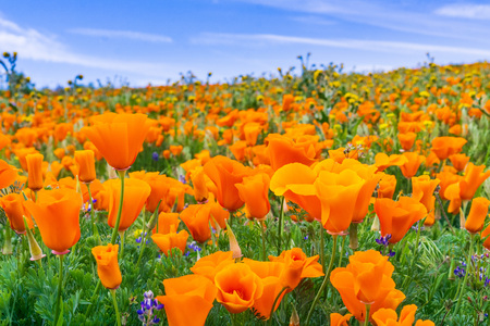 Close up of California Poppies (Eschscholzia californica) during peak blooming time, Antelope Valley California Poppy Reserve Stok Fotoğraf
