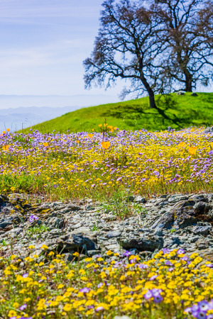 Field of colorful wildflowers in the hills of Henry W. Coe State Park, California