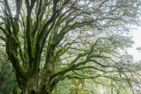 Hiking trail through moss covered trees on a foggy day, Castle Rock State park, San Francisco bay area, California 免版税图像