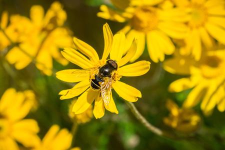 Close up of Transverse Flower Fly (Eristalis transversa) pollinating a common woolly sunflower (Eriophyllum lanatum), Stebbins Cold Canyon, Napa Valley, California