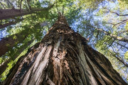 Tall Redwood tree (Sequoia sempervirens), California