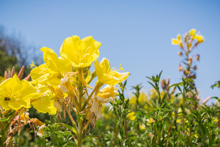 Hooker's evening primrose (Oenothera elata) wildflower blooming on the Pacific Ocean coastline, California