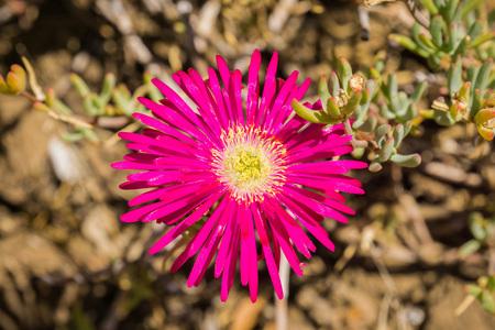 Close up of Lampranthus zeyheri iceplant, California