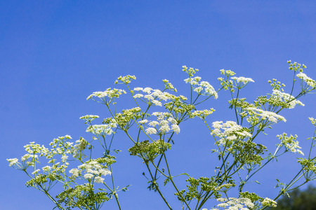 Conium maculatum (hemlock or poison hemlock) is a highly poisonous flowering plant, native to Europe and North Africa, and invasive in other parts of the world, such as California