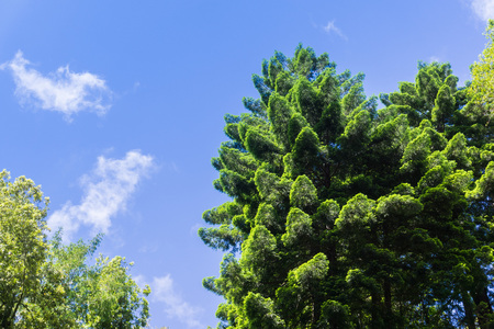 The verdant crown of an evergreen tree, on a blue sky background, California