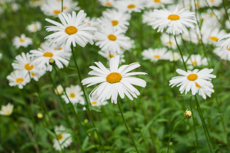 Daisy flowers blooming on a meadow