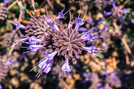Cleveland sage (Salvia clevelandii) flowers, California Stock Photo