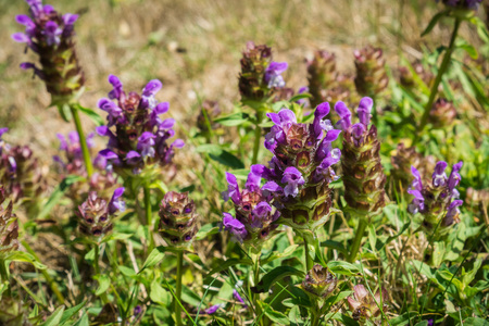 Common self heal (Prunella Vulgaris) blooming in South Slough National Estuarine Research Reserve, Coos Bay, Oregon Stock Photo