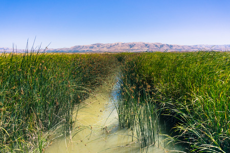 Tule reeds and cattail in the marsh restored at Alviso Marina County Park, San Jose, California 版權商用圖片