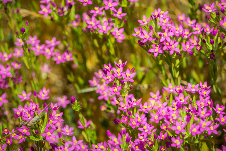 Muehlenbergs centaury (Zeltnera muehlenbergii) wildflowers blooming on the Pacific Ocean coastline, California Stock Photo
