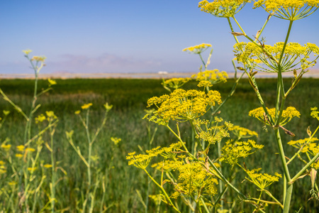 Fennel (Foeniculum vulgare) blooming wild on the levees of the marshes of San Francisco bay, California Stok Fotoğraf - 115319085