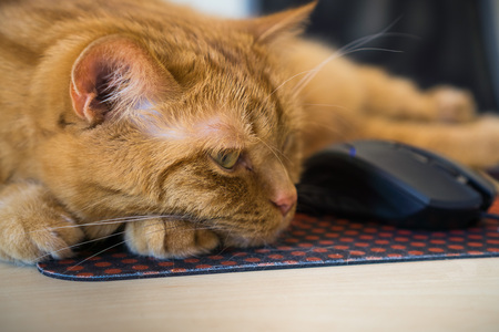 Close up of orange cat sleeping next to a mouse; shallow depth of field Standard-Bild - 115319627
