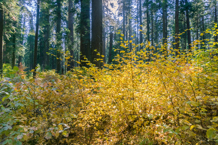 Brightly colored dogwood covering the entire forest on a sunny autumn day, Calaveras Big Trees State Park, California Stock Photo