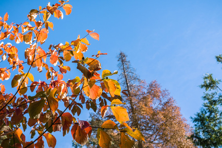 Colorful Pacific mountain dogwood branches on a blue sky background, Calaveras big trees state park, California
