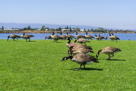 Canada geese on a park meadow, Shoreline Park and Lake, Mountain View, San Francisco bay area, California