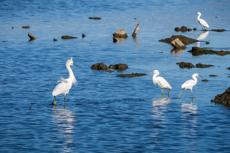 White egrets fishing on a pond in Don Edwards Wildlife Refuge,