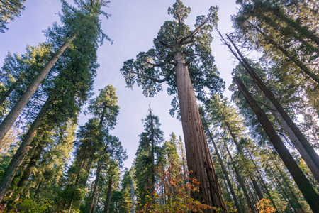 Sequoia tree surrounded by pine trees, Calaveras Big Trees State Park, California