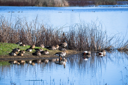 Ducks and geese resting on the shoreline of a pond in Sacramento National Wildlife Refuge, California