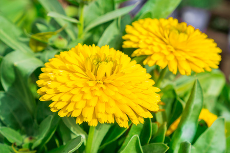 Close up of yellow blooming Calendula