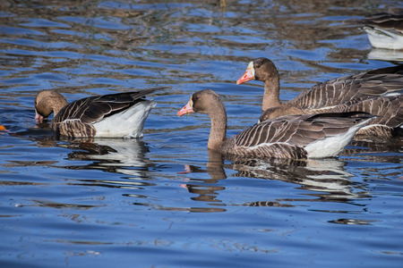 Greater White-fronted Geese (Anser albifrons) swimming in one of the ponds of Sacramento National Wildlife Refuge, California