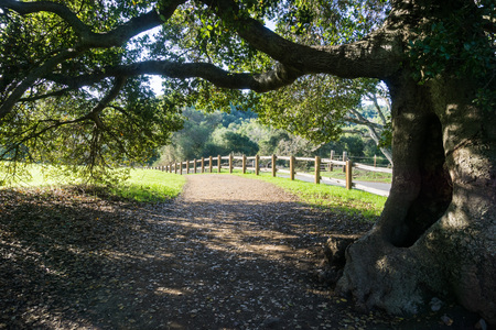 Old live oak tree stretching its branches over a walking trail, Rancho San Antonio County Park, south San Francisco bay, Cupertino, California