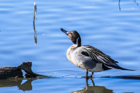 Northern Pintail male standing in a shallow pond, Sacramento National Wildlife Refuge, California