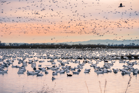 A flock of snow geese wintering on a pond in Sacramento National Wildlife Refuge, California