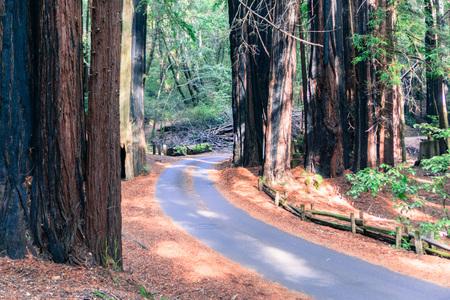 Narrow road going through a redwood (Sequoia sempervirens) forest, Big Basin State Park, Santa Cruz mountains, San Francisco bay area, California