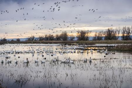 Flocks of snow geese resting in the shallow ponds of Colusa Wildlife Refuge; Sacramento National Wildlife Refuge, California