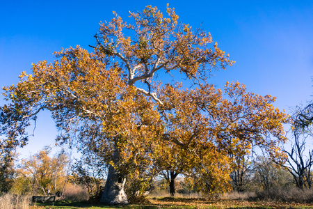 Large Western Sycamore tree (Platanus Racemosa) on a sunny winter day; blue sky background; Sycamore Grove Park, Livermore, east San Francisco bay, California