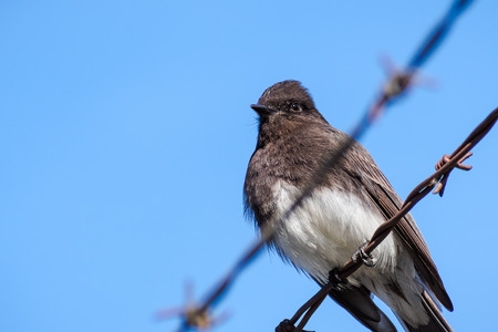 Black Phoebe sitting on a barbwire, blue sky background, California