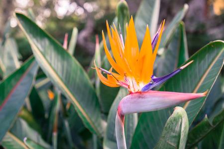 Close up of Bird of Paradise (Strelitzia reginae) flower, California