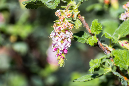 Ribes malvaceum (Chaparral Currant), San Francisco bay area, California Stock Photo