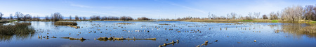 Ducks and Geese resting on a pond; panorama in Colusa Wildlife Refuge, Sacramento National Wildlife Refuge, California