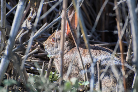 Close up of rabbit sitting still in the shrubs, Sacramento National Wildlife Refuge, California Stock Photo