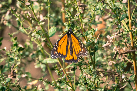 Monarch Butterfly resting in a shrub, Pismo Beach, California Banco de Imagens
